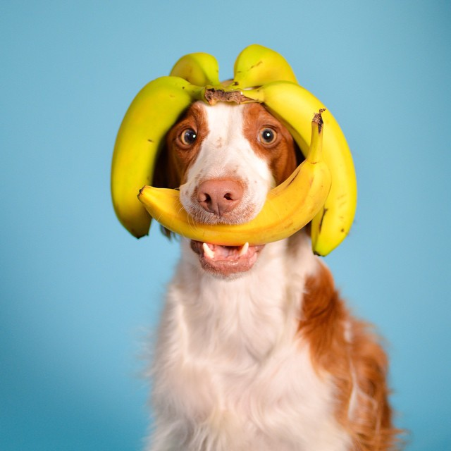 can-dog-eat-bananas