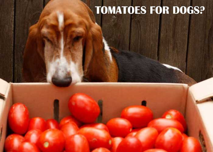 can-dogs-eat-tomatoes